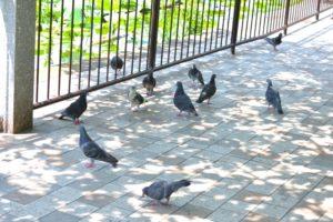 鳩の営業マン